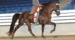 Hodowla: Tennessee Walking Horse